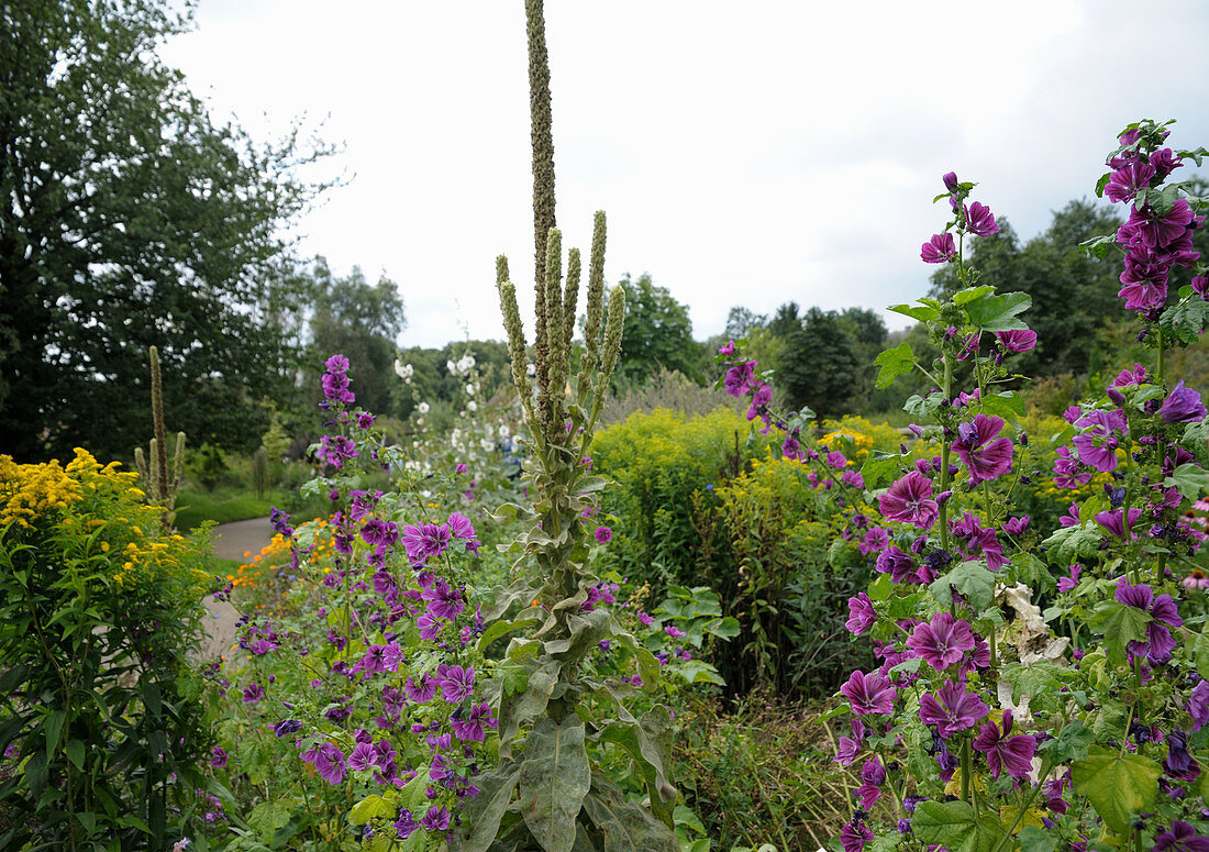 Sensory garden in Papendorf, Germany: mallow, mullein and goldenrod