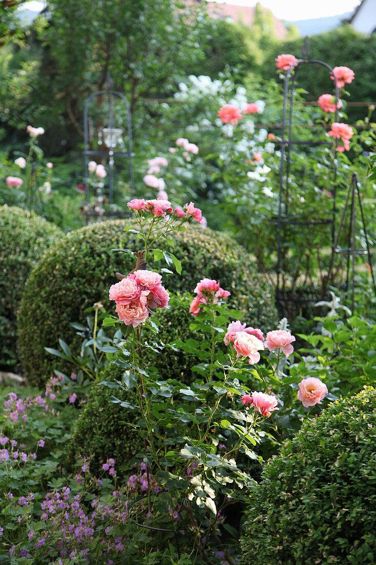 Rose garden with boxwood balls
