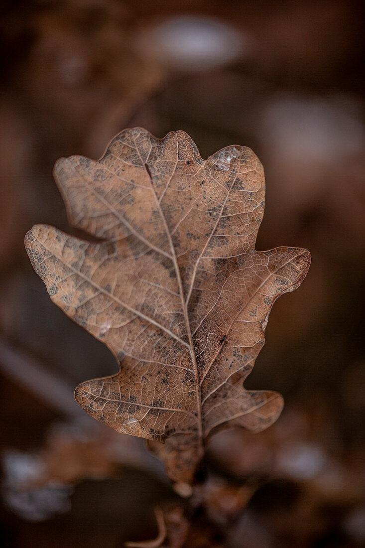 Autumnal oak leaf