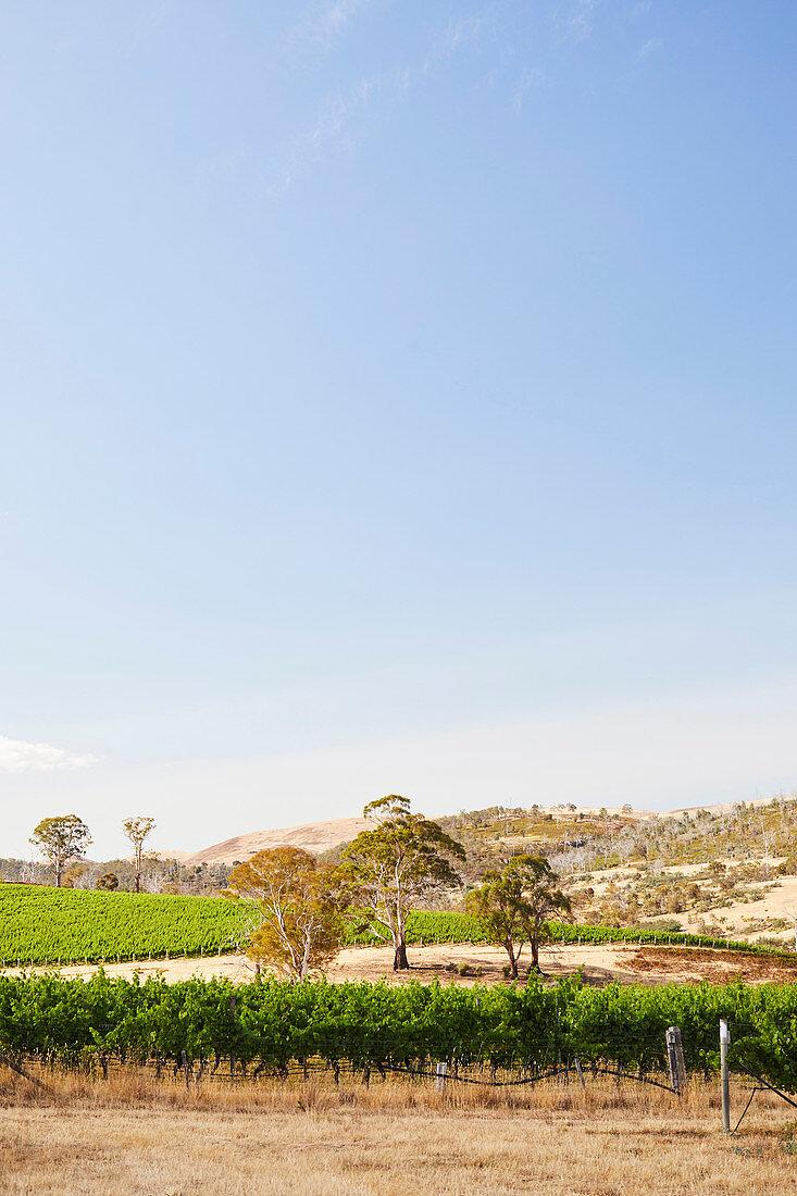 Weinberge im Meadowbank Weingut im Dervent Valley (Tasmanien)