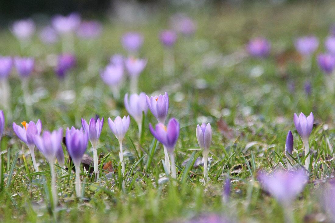 Woodland crocus naturalised in lawn