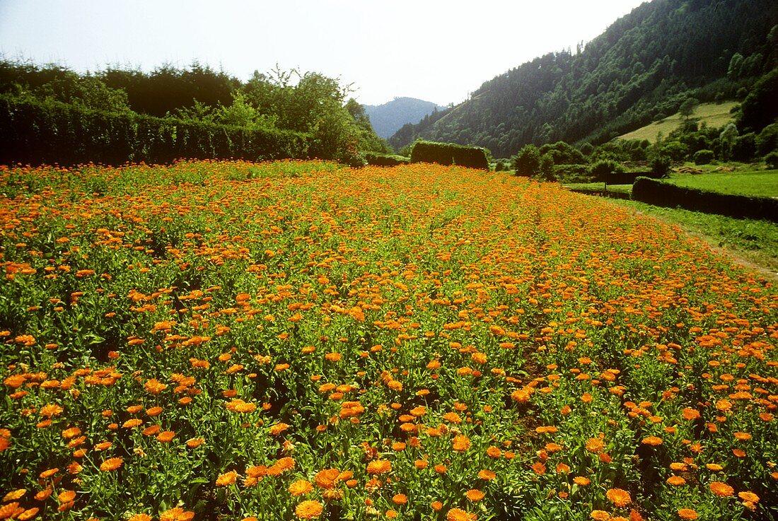 Field of marigolds