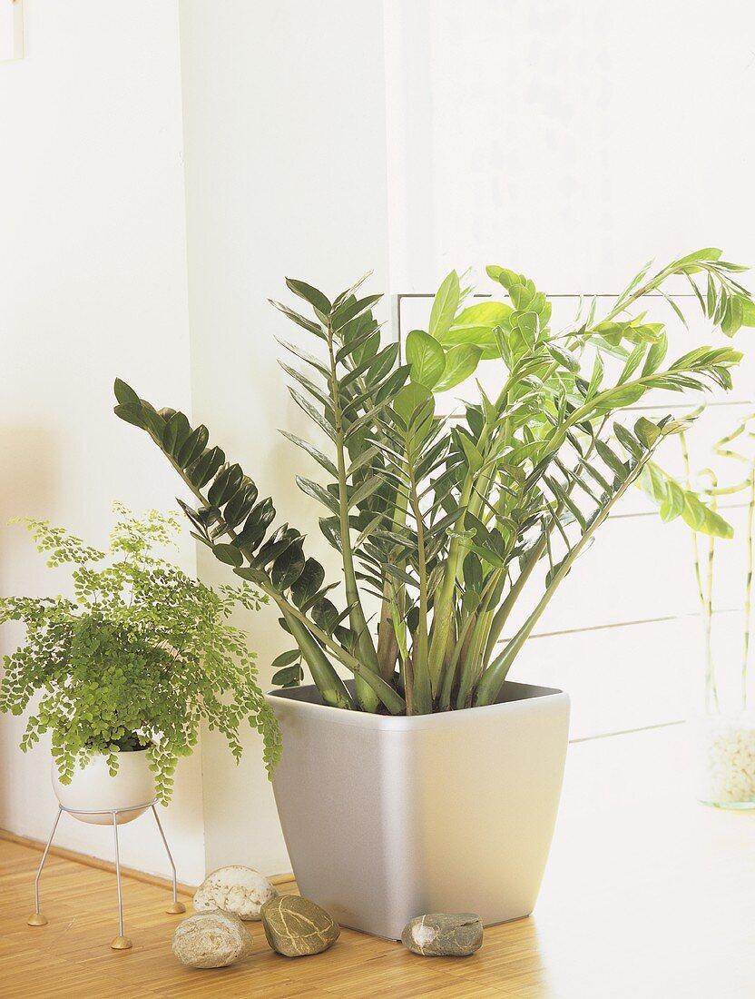 Grünpflanze, Zamioculca mit geringem Lichtanspruch