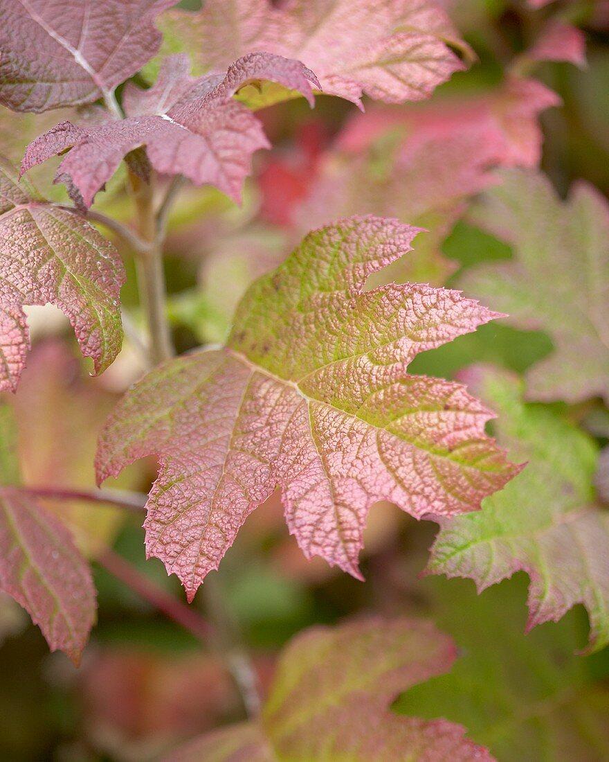 Eichenblatt-Hortensie (Hydrangea quercifolia)