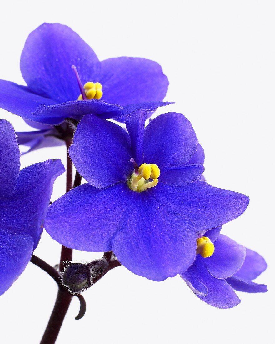 African violet (Saintpaulia 'blue')