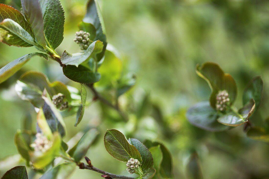 Aronia bush (chokeberry) with flowers