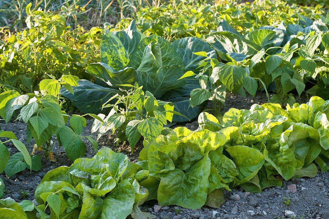 Vegetable bed in garden