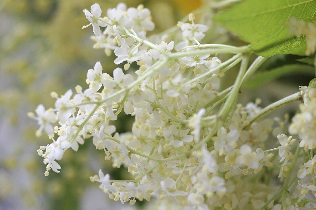 Elderflowers on the bush