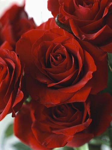 Dark red roses (close-up)
