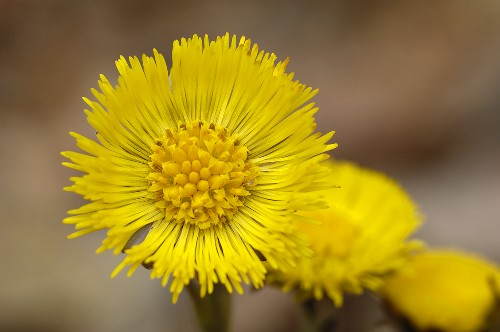 Coltsfoot flowers out of doors