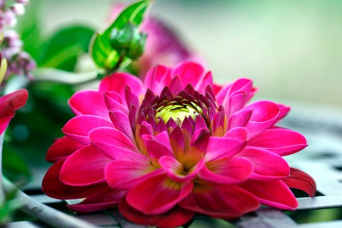 Dahlia flower (close-up) on metal table