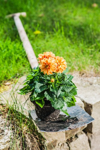 Dahlia on spade ready for planting