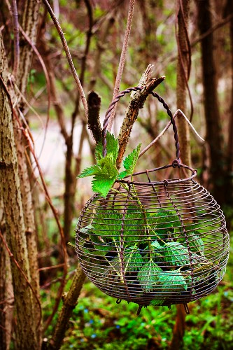 Wire basket with stinging nettles hanging from a branch