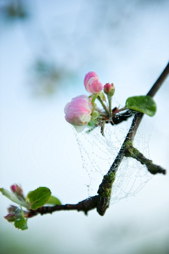 A spider's web with water droplets on a blossoming apple twig