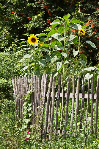 Sunflowers next to wooden fence in cottage garden
