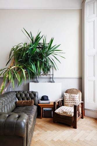 Bamboo plant in corner of lounge with vintage leather sofa and armchair in traditional setting