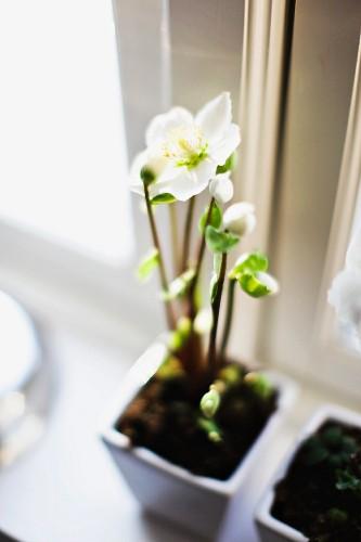 Potted flowering hellebore on windowsill