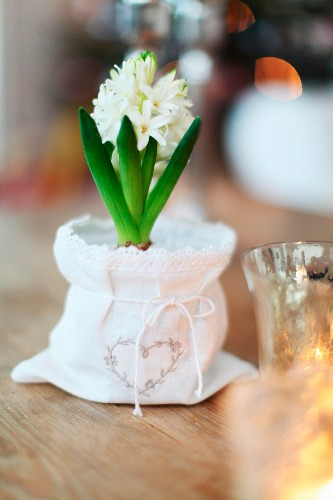 White hyacinth in pot with white fabric cover