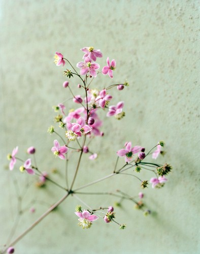 Chinese meadow rue
