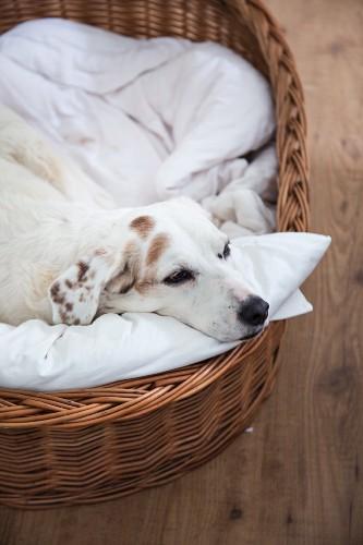 Dog in dog basket