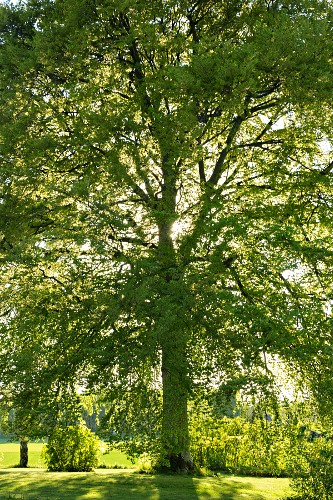 Old beech tree in summery garden