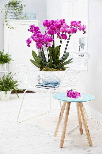 Phalaenopsis 'Hollywood' orchid