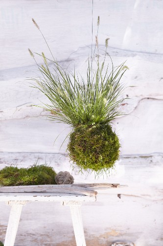 A hanging plant ball made from moss and fountain grass