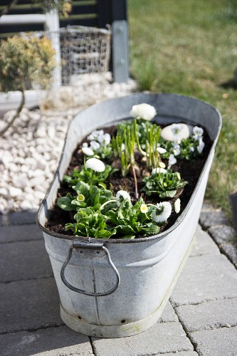 White bellis planted in zinc tub on paved floor outdoors