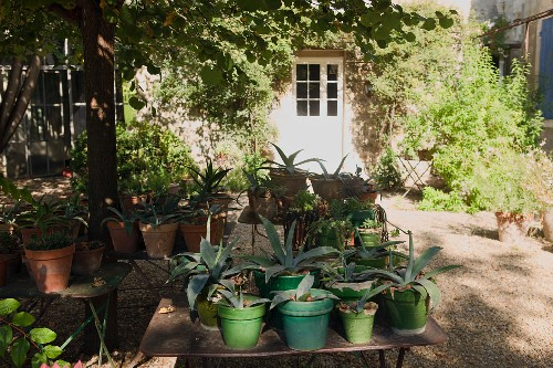 Potted agaves on garden table