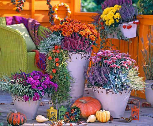 Chrysanthemum, Calluna Garden Girls and Beauty Ladies