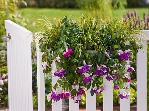 Fuchsia 'Deep Purple' (Fuchsia), Acorus 'Ogon' (gold calamus)
