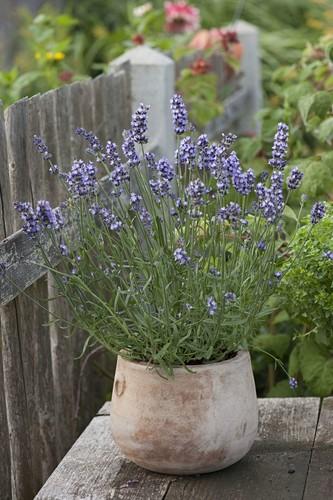 Lavender 'Aromatic Blue' (Lavandula) in a terracotta pot