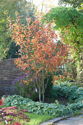 Amelanchier lamarckii, in the bed with alchemilla