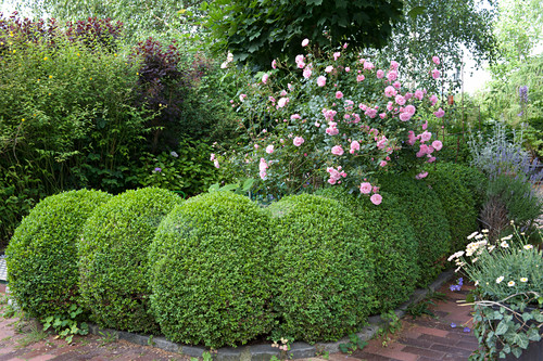 Buxus cut into balls in rows, rose behind