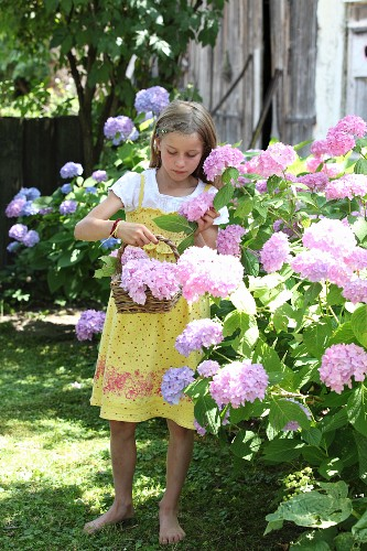 Girl holding basket picking hydrangeas in summer garden