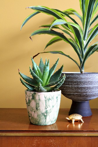 Potted yucca and succulent