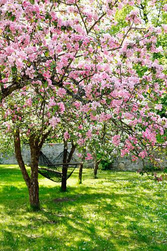 Hammock hung between two flowering fruit trees