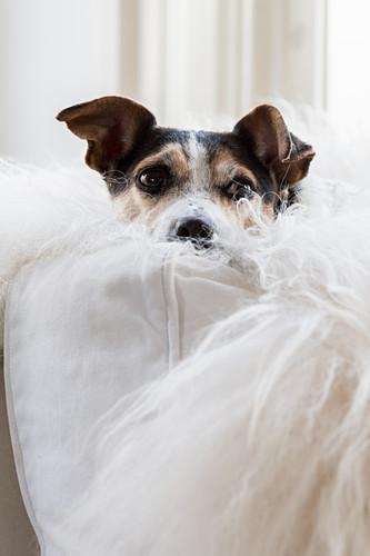 Dog snuggled into white sheepskin on white sofa