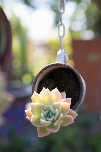Succulent planted in suspended cup