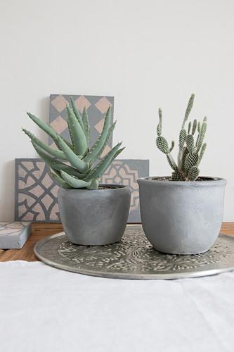 Sukkulente und Kaktus in Übertöpfen mit Betonfarbe