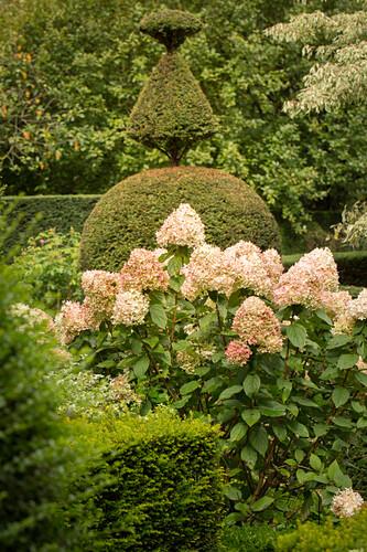 Overblown hydrangeas in topiary garden (Les Jardin de Castillon, France)