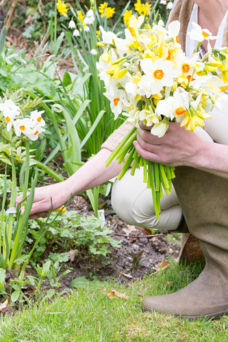 Woman cutting narcissus for bouquet in garden