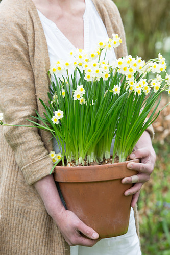 Woman holding planter of flowering narcissus
