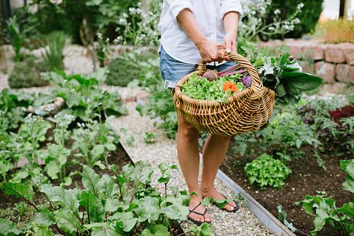 Frau erntet Gemüse im Garten
