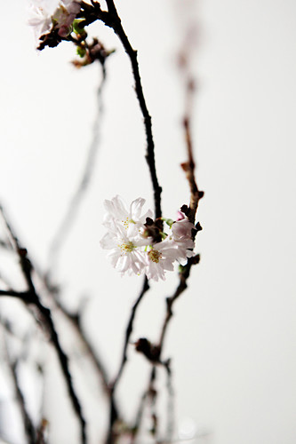 White blossom on branch of Higan cherry