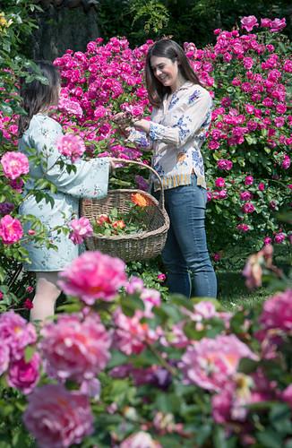 Frauen schneiden Rosenblüten im Garten