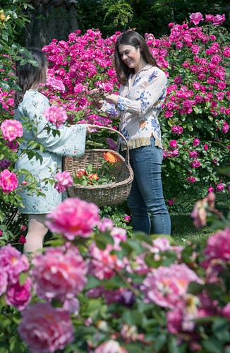 Woman cutting roses in garden