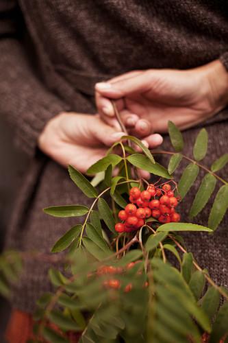Hand holding sprig of rowan berries