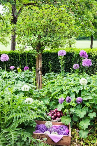 Flowering alliums and basket of red onions in garden