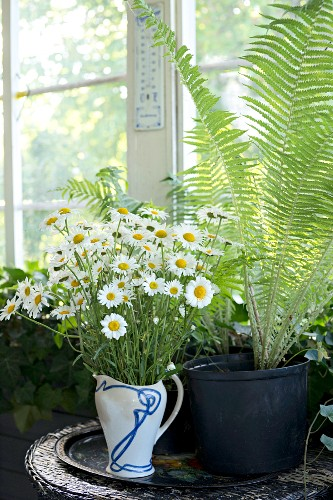 Vintage jug of ox-eye daisies and potted fern in front of window